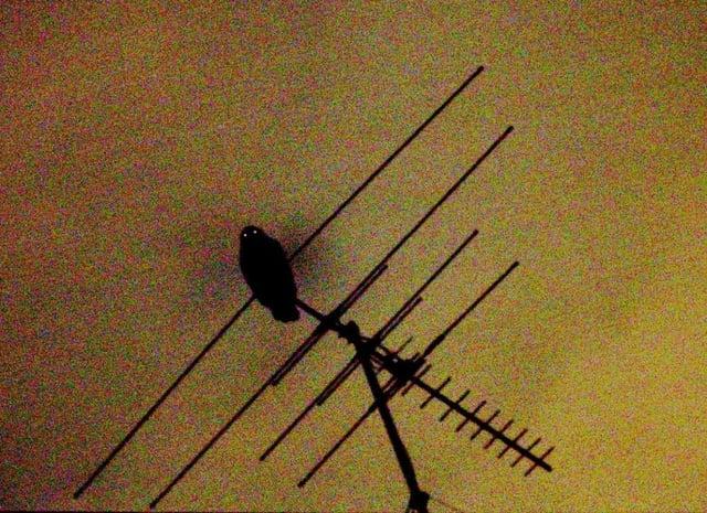 owl on antenna